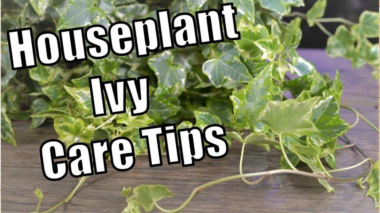 Houseplant Ivy Care