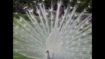 The most beautiful white peacock opening feathers.