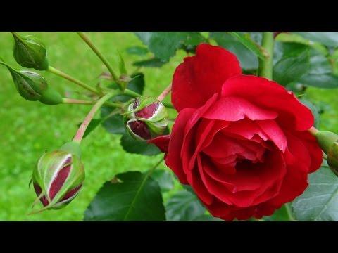 Yaddo Gardens Saratoga Springs | Yaddo artist residency | Roses