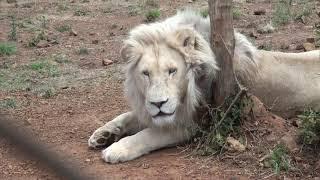 My 2018 Lion & Safari Park Volunteering Adventure