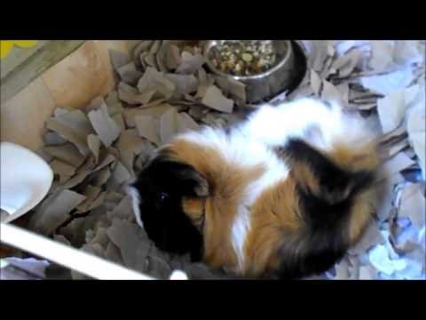 Updated guinea pig shed tour march 2017 } Guinea pigs r cute