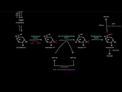 Galactose and Fructose: Galactose Metabolism [free sample]