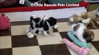 Little Rascals Uk Breeders New Litter Of Maltipoo Puppies