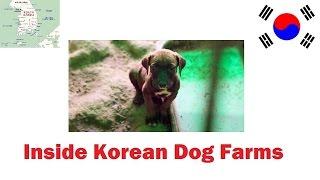Inside Korean Dog Farms
