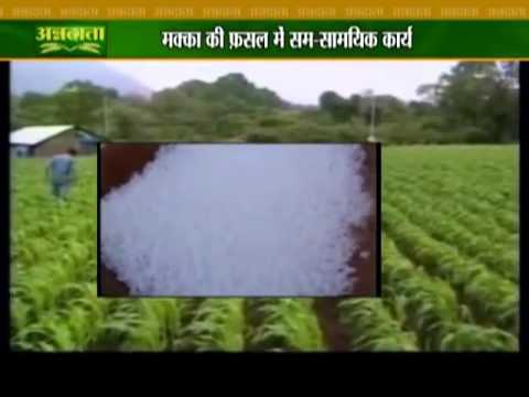 Know all about maize farming