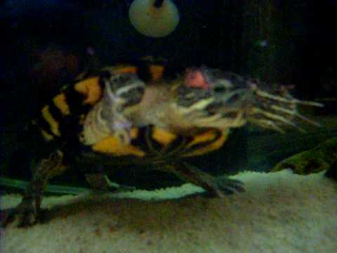 17 years old turtle - Trachemys Scripta Elegans