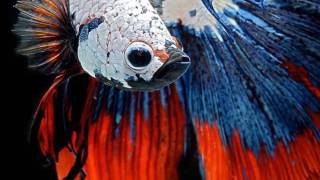 Аквариумная рыбка сиамский петушок (Betta splendens)