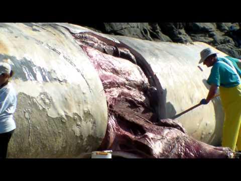 Bean Hollow State beach Blue Whale necropsy 1/5