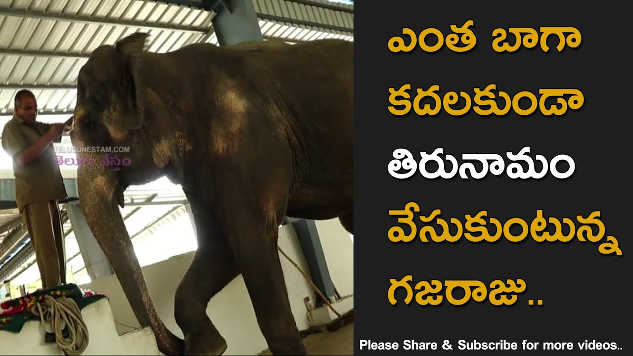 Elephant Getting Ready With Thirunamam At Tirumala Temple