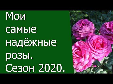 Мои самые надёжные розы. Сезон 2020.