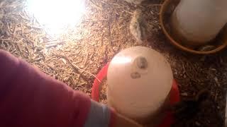 3 günlük yavru bıdırcın bakımı