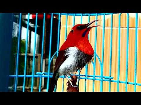 Kicau Burung Kolibri Sepah Raja Gacor Tembakan Super Keras Youtube To Mp3 Convert