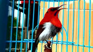 Video Kicau Burung Kolibri Sepah Raja Gacor Tembakan Super Keras download MP3, 3GP, MP4, WEBM, AVI, FLV Juni 2018