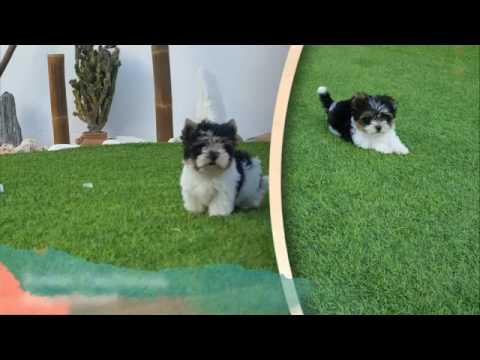 Biewer Terrier by ClanFerona
