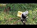 Kapasan Gacor Pancing Bunyi Burung Bahan  Mp3 - Mp4 Download