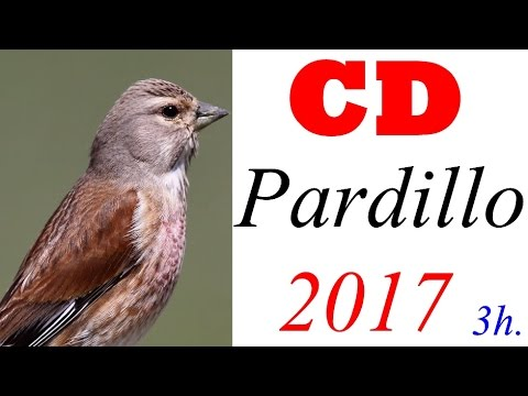 Canto del Pardillo CD 2017   Chant linotte 2017