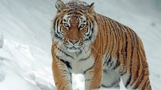Тигр / Tiger / Վագր