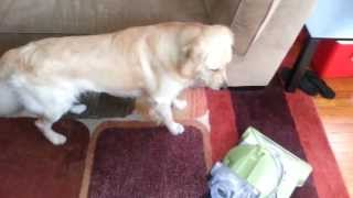 Dog Loves His Vacuum Cleaner Friend!? English Cream Golden Retriever - 14 Months Old