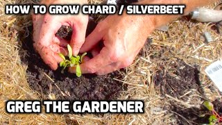 HOW TO GROW CHARD / SILVER BEET - Greg The Gardener