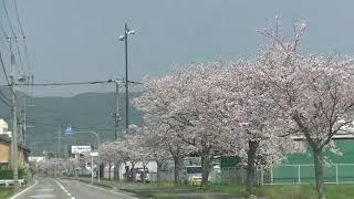 佐賀市神埼市の桜街道
