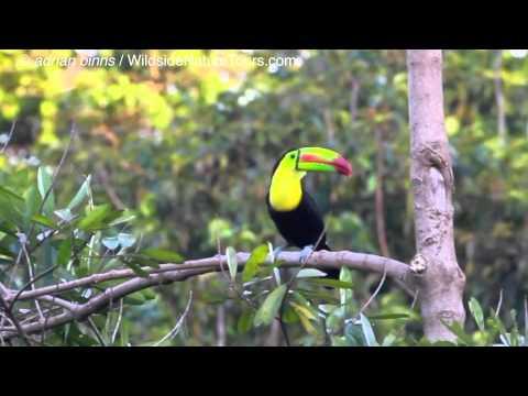 Keel-billed Toucan calling