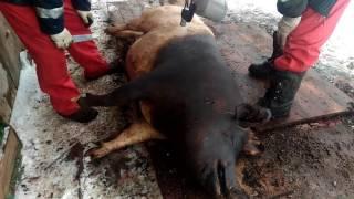 Забой свиньи в ЛПХ.(На видио показано место на шее свиньи, куда нужно попасть ножом., 2017-01-11T19:22:21.000Z)