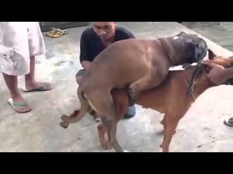 sex with a great dane youtube