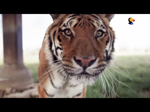 Why You Should Never Buy Tiger Bone Wine | The Dodo