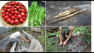 菜園だより201005トマト長芋収穫・間引き