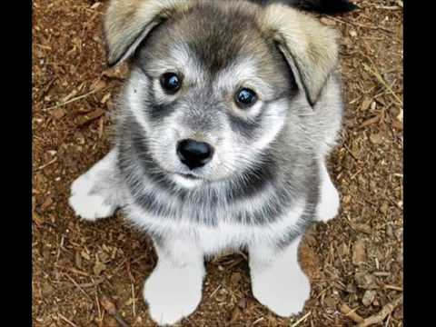 siberian husky puppy pictures youtube