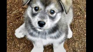 Siberian Husky Puppy Pictures ^-^