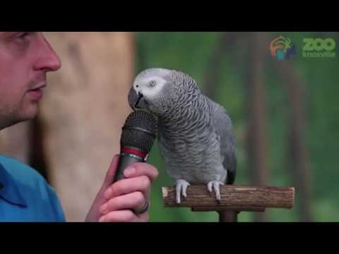 Amazing talking parrot Einstein able to mimic human sounds and movements