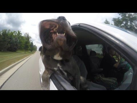 Monster Hits the Road.  Neapolitan Mastiff