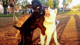 Akita Gets Battle Tested & Wild American Bully At Dog Park