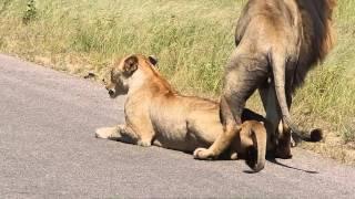 Kruger National Park- Lion porn