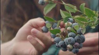 Driscoll's Blueberries | Pursuit of Flavor thumbnail