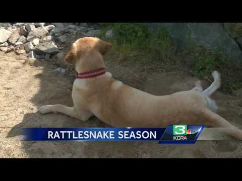 Meet the retired Marine who spends his days wrangling NorCal rattlesnakes