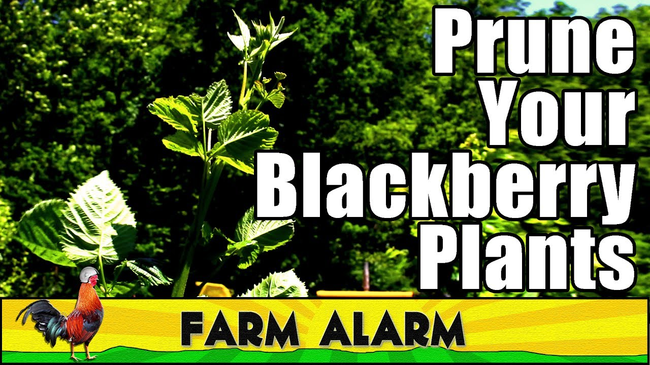 Pruning Blackberry Plants When And Why