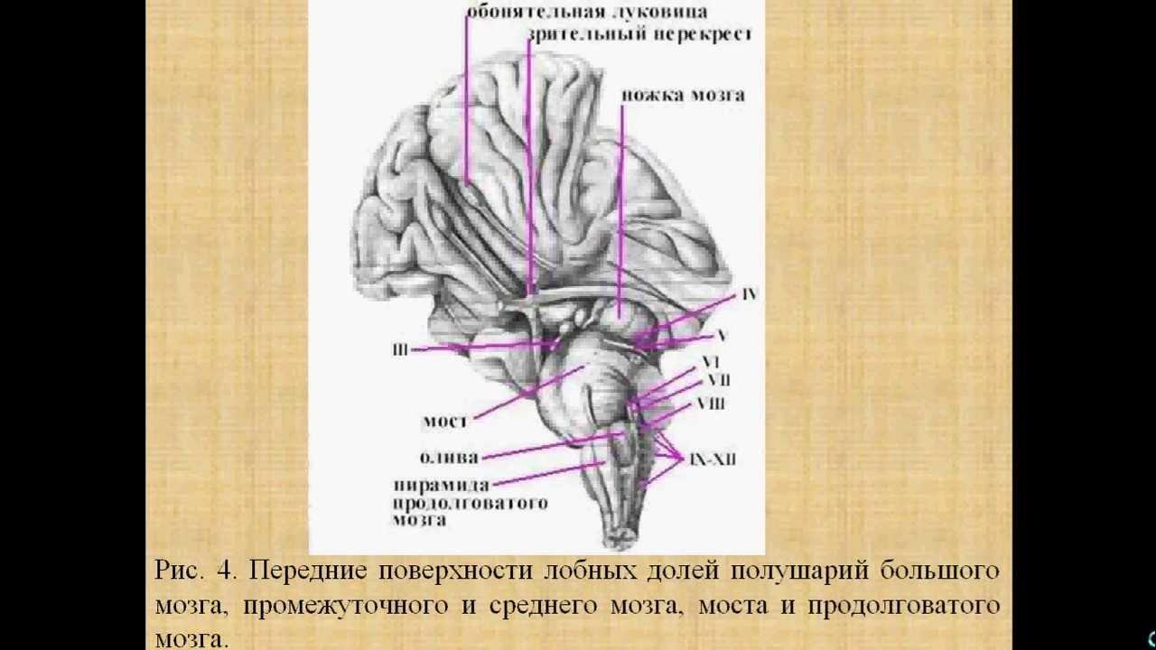 Мозг задний