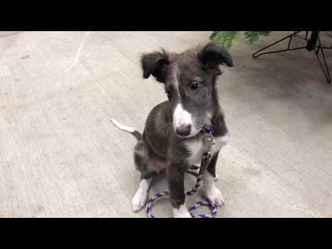 Lazuli! 10 Week Silken Windhound Puppy