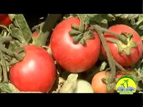 Tomato Marketing