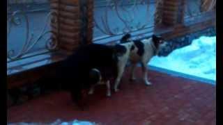 Панин и собаки