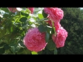 Садоводство. Красивые кустарники. Роза. Спирея. Барбарис. Туя. Можжевельник. Садовые цветы.