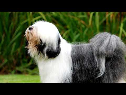 Tibetan Terrier Flea Prevention