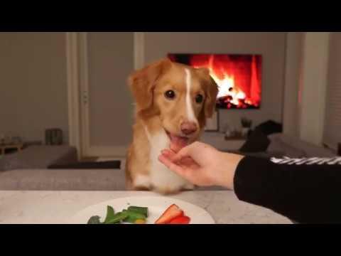 ASMR Dog | Snacc with Moxie the toller | Nova Scotia Duck Tolling Retriever