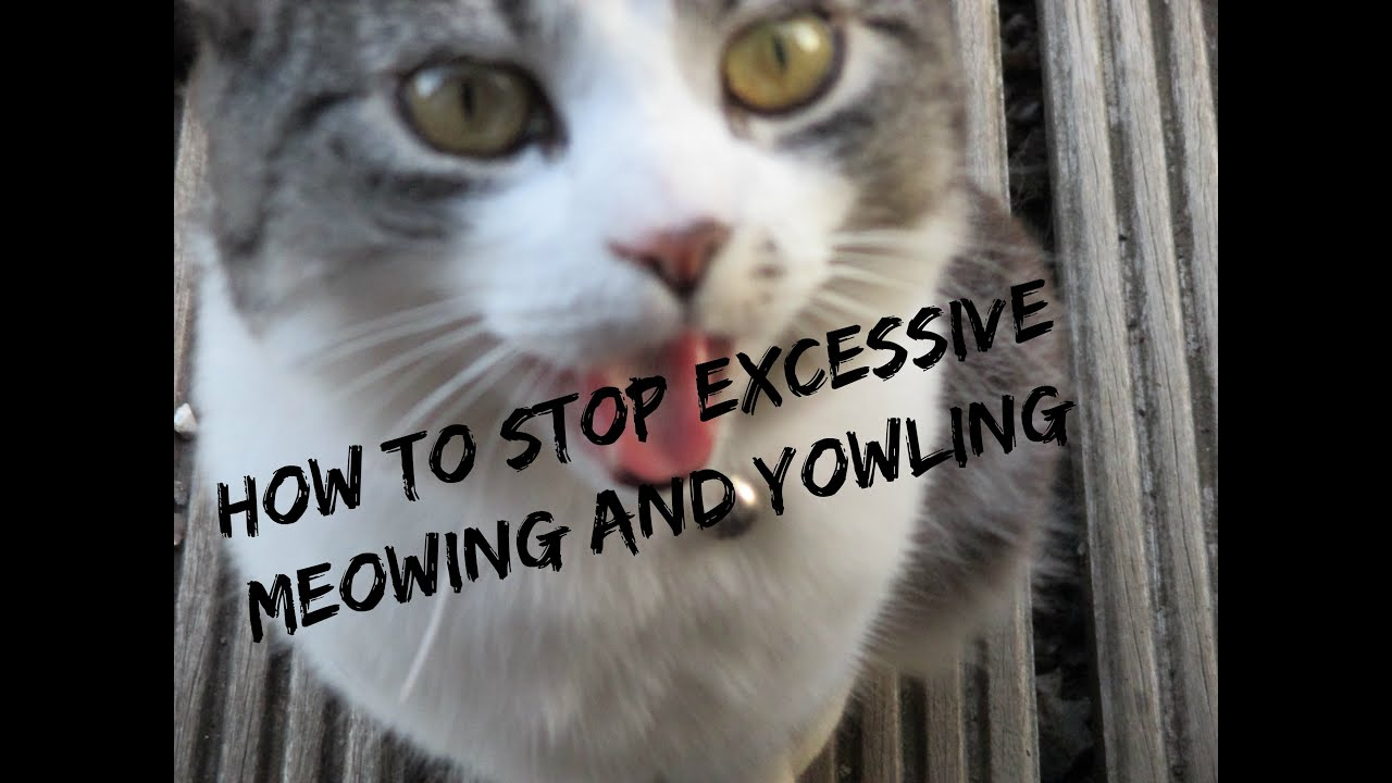 How To Stop Your Cat From Meowing And Yowling Youtube