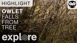 Long Eared Baby Owl Falls from the Trees - Live Cam Highlight thumbnail