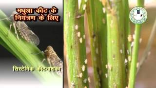 Insect and Pest Control in Paddy (धान में कीट और रोग नियंत्रण)