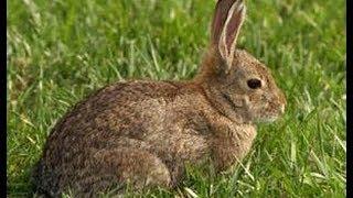 Springer spaniel rabbit hunt.