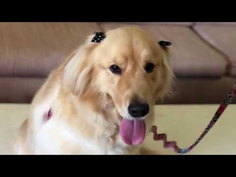Golden Retriever Dog breed - Dog Grooming Vídeo